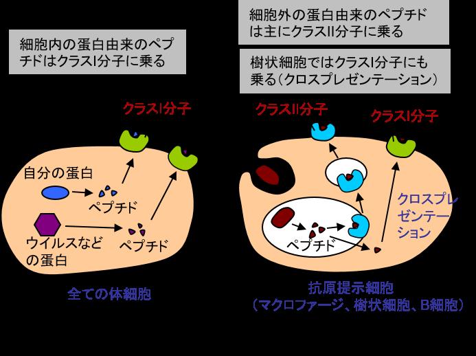 ウイルスに対する免疫応答の仕組み(2)│コロナ制圧タスクフォース